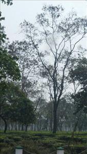 Tea plants en route to Darjeeling: by cfitchey, Views[93]