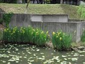 yellow iris are opening: by chinaho, Views[68]