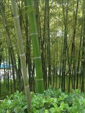 bamboo grows so fast: by chinaho, Views[135]