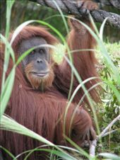 The eyes of a pensive orangutan at the Miami Zoo.: by chinchilla, Views[130]