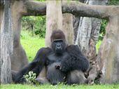 Sad gorilla at the Miami Zoo.: by chinchilla, Views[1149]