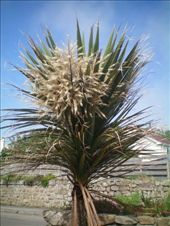 flowering cabbage tree....no wonder i like it here, it reminds me of home!: by chloe, Views[260]