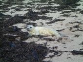 Baby seal washed up on the beach: by chloe, Views[784]