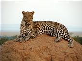 A leopard we followed that finally decided to take a break on a termite hill : by chloe_danelle, Views[128]