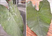 Taro leaves: by choudharydeepak, Views[138]
