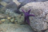 There were lots of purple starfish: by chris_and_dusk, Views[144]