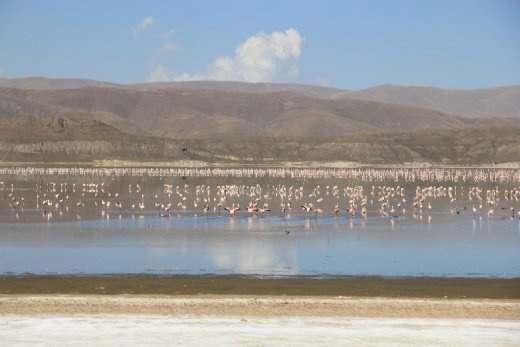 Flamingos ... thousands!