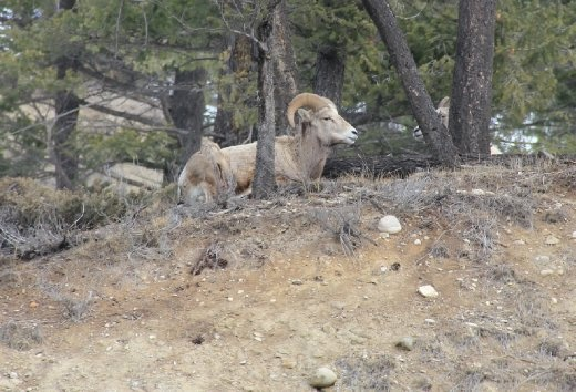Ok...this is still in Canada. Big horn sheep