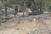 Ok...this is still in Canada. Big horn sheep: by chris_and_dusk, Views[118]