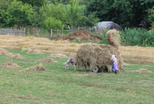Gathering up the hay