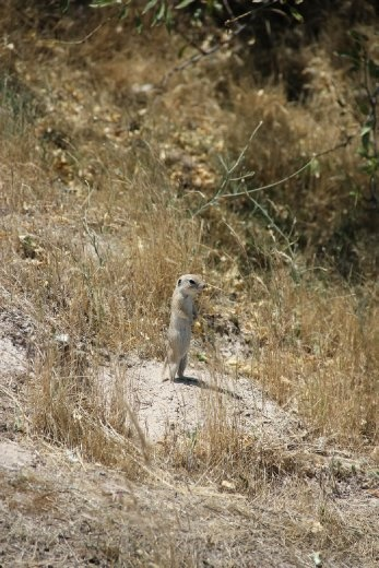 Mini meercat