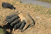 Piglets: by chris_and_dusk, Views[87]