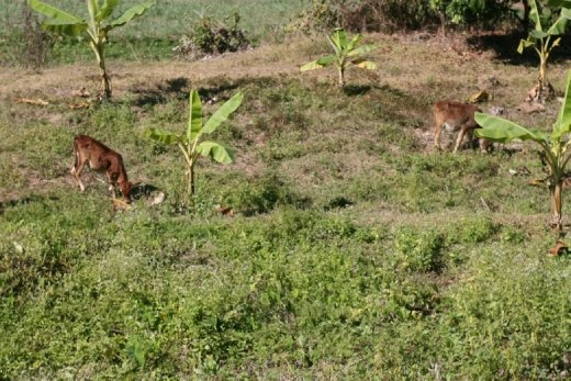 We woke up the first morning to bells ringing... the culprit(s)? Two little cows grazing out back