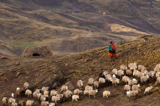 Living life similar to their Inca ancestors, a woman herds her sheep before sunset at 4100m high in the Andes.