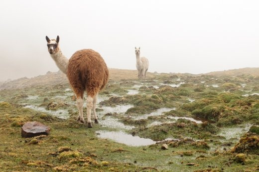 Alpaca are known for their warm garments and creating a source of income for Incas, there are not many places you won't see one in Peru.