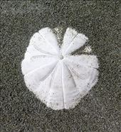sand dollar: by cindya, Views[216]