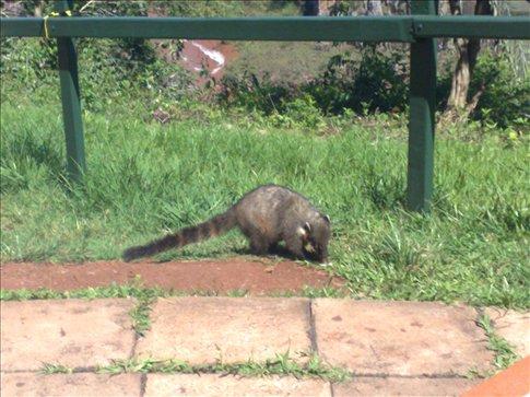 Robbing Racoon / Coati