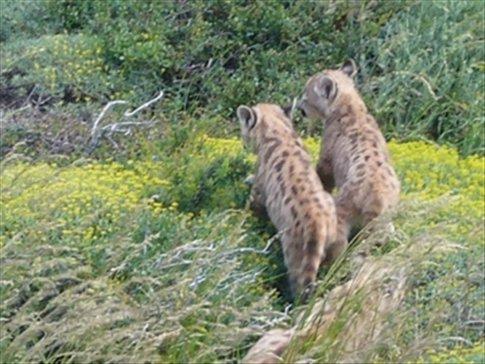 photos of pumas - thanks to Esther