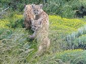 photos of pumas - thanks to Esther: by clairejennings, Views[1741]