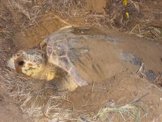 Loggerhead turtle laying eggs at Mon Repos