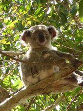 Koala at Noosa: by clare-tamea, Views[175]