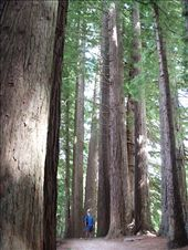 Redwood forest walk, Roturua: by clare-tamea, Views[337]