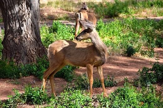 Mule Deer in campsite at Zion
