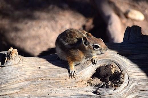Chipmunk (so cute!)