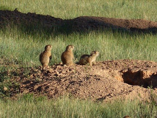 Utah Prairie Dogs