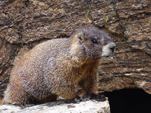 Yellow-bellied marmot in Rocky Mountains