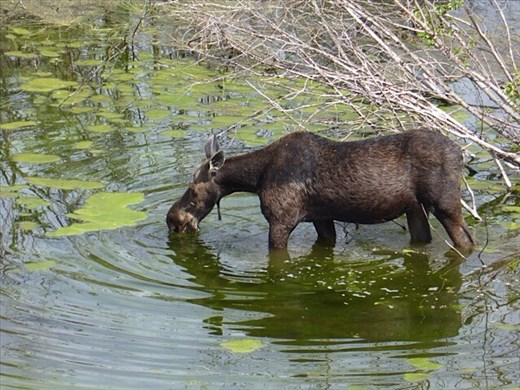 Moose grazing in a beaver pond