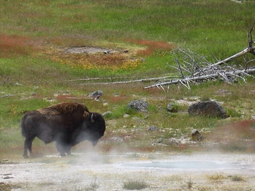 Bison having steam bath, Yellowstone