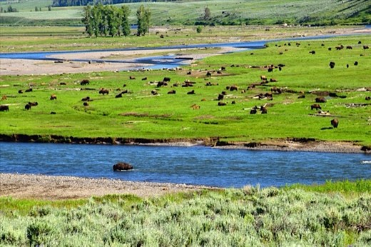 Bison in Lamar Valley, Yellowstone