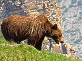 Grizzly bear in Glacier National Park: by clare-tamea, Views[122]