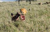 Hyena laughs as he runs off with piece of zebra from pride of lions: by clare-tamea, Views[127]