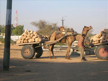 Camels pulling cart in Rajasthan... A common but interesting sight...