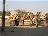 Camels pulling cart in Rajasthan... A common but interesting sight...: by clarinette, Views[2069]