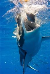 One of my many adventures as the CEO of Shark Diver: by coastaljourney, Views[221]