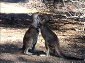 Kangaroo fight: by colemanw, Views[149]