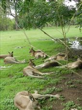 wallabies be chilling: by colin_s, Views[138]