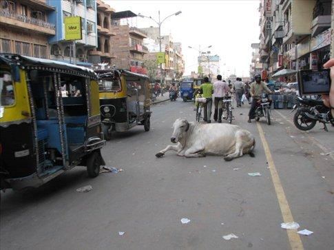 Ah, to be a cow in India...