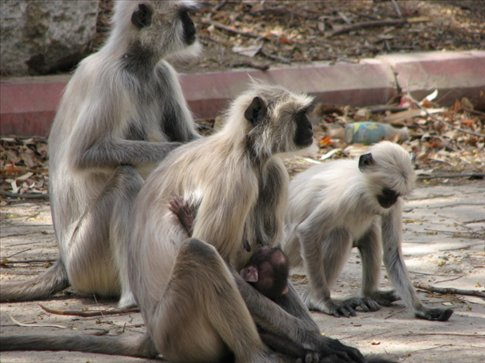 Langurs (the one in front has a baby) in Ranakpur