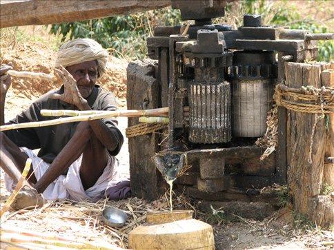 Feeding sugar cane into the grinder