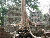 Spung tree at Angkor Wat: by colleen_finn, Views[295]
