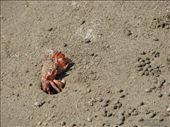These critters are all over the beach and they roll those little sand pellets you see next to him. We've dubbed the pellets