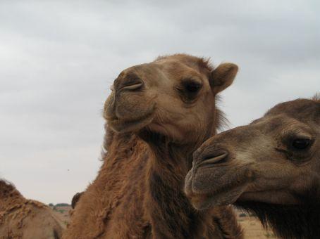 Dromedaries...not camels!