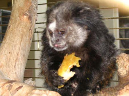 Black tufted-ear marmoset (Aegina)