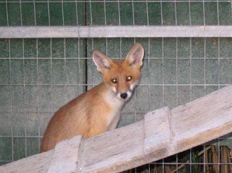 Red fox (Aegina)