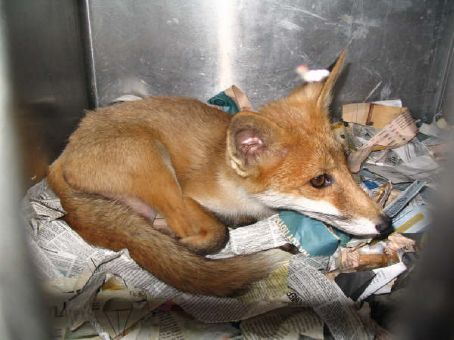 This is the manic red fox that bit me! The little devil.