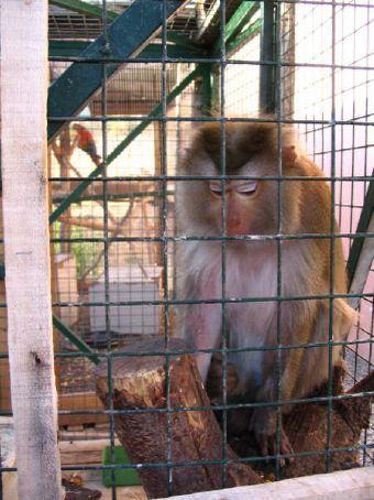 Nikki, our resident Macaque (Aegina)
